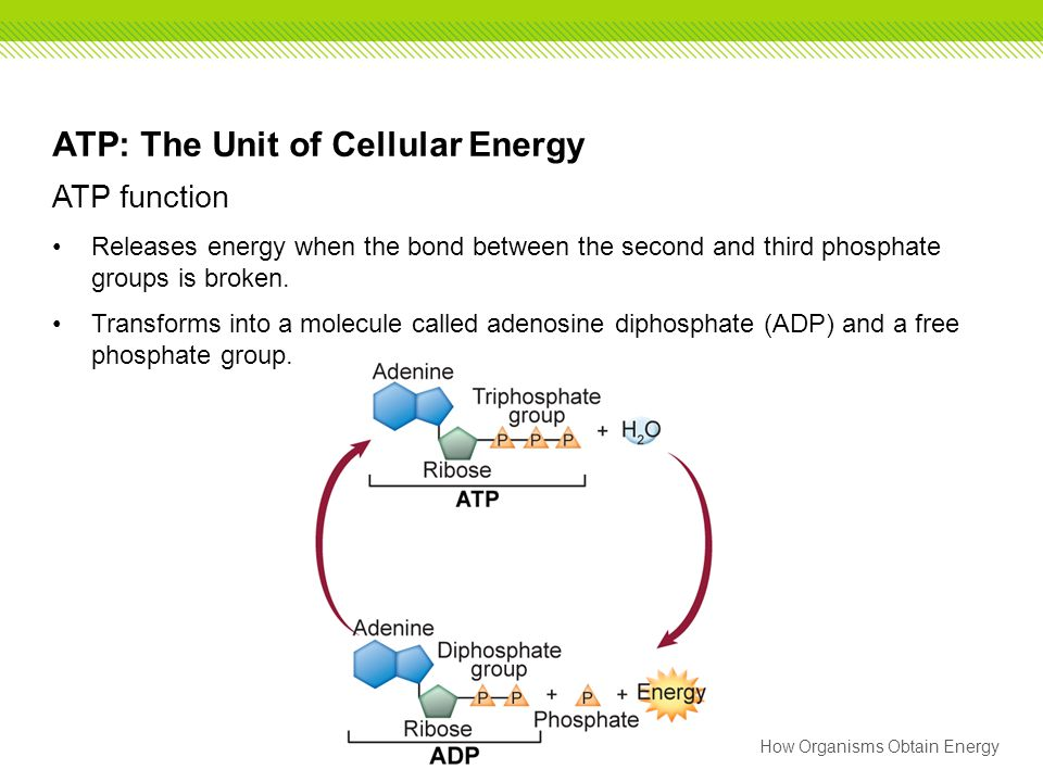 ATP: The Unit of Cellular Energy