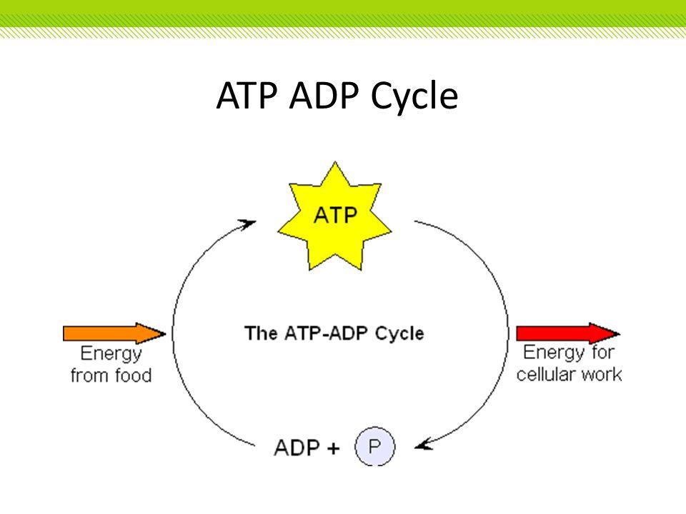 ATP ADP Cycle