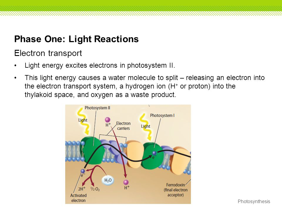 Phase One: Light Reactions