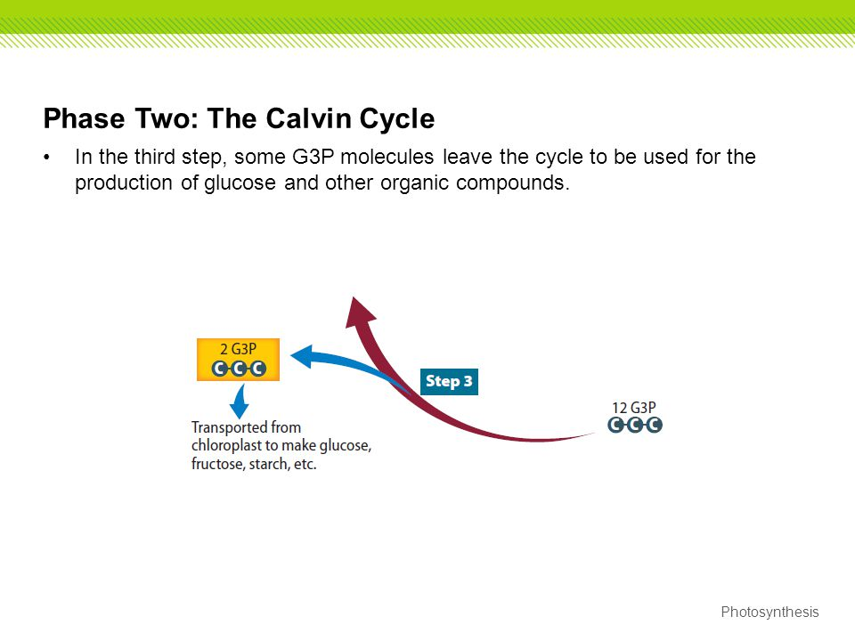 Phase Two: The Calvin Cycle