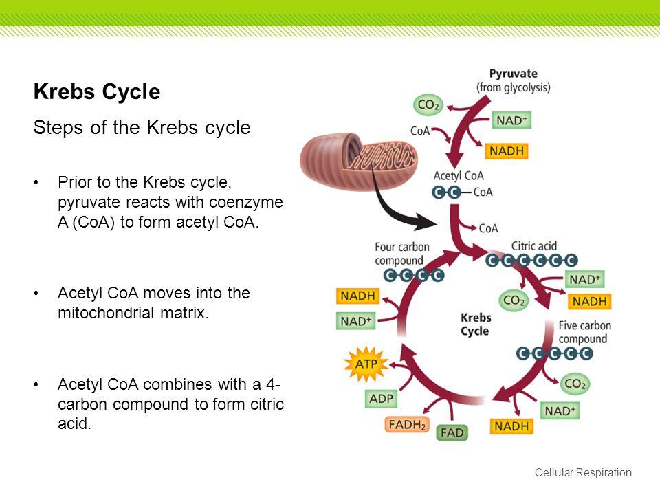 Krebs Cycle Steps of the Krebs cycle