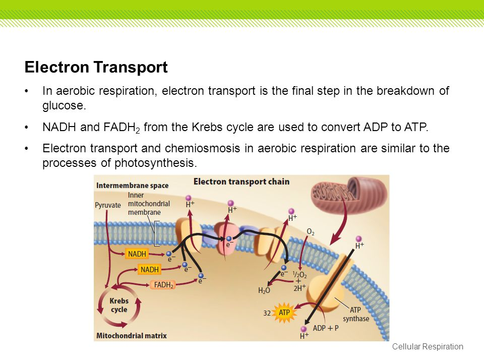 Electron Transport In aerobic respiration, electron transport is the final step in the breakdown of glucose.