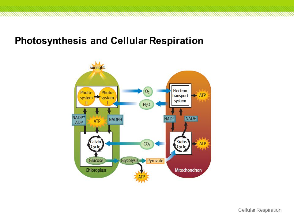 photosynthesis and cellular respiration matrix appendix f Biology 9th class english medium online test mcqs with answers.