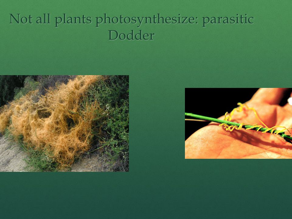 Not all plants photosynthesize: parasitic Dodder