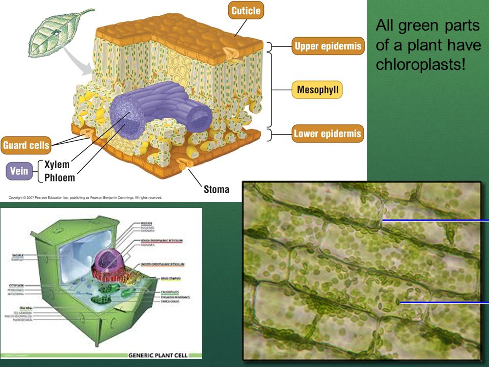 All green parts of a plant have chloroplasts!