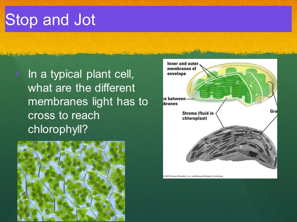 Stop and Jot In a typical plant cell, what are the different membranes light has to cross to reach chlorophyll