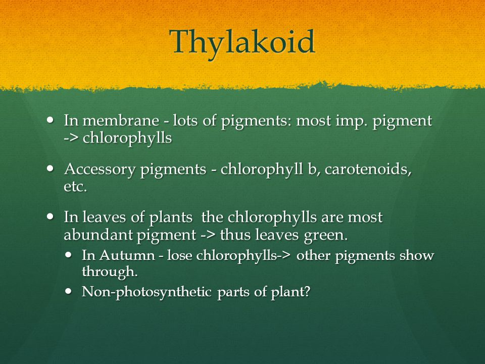 Thylakoid In membrane - lots of pigments: most imp. pigment -> chlorophylls. Accessory pigments - chlorophyll b, carotenoids, etc.