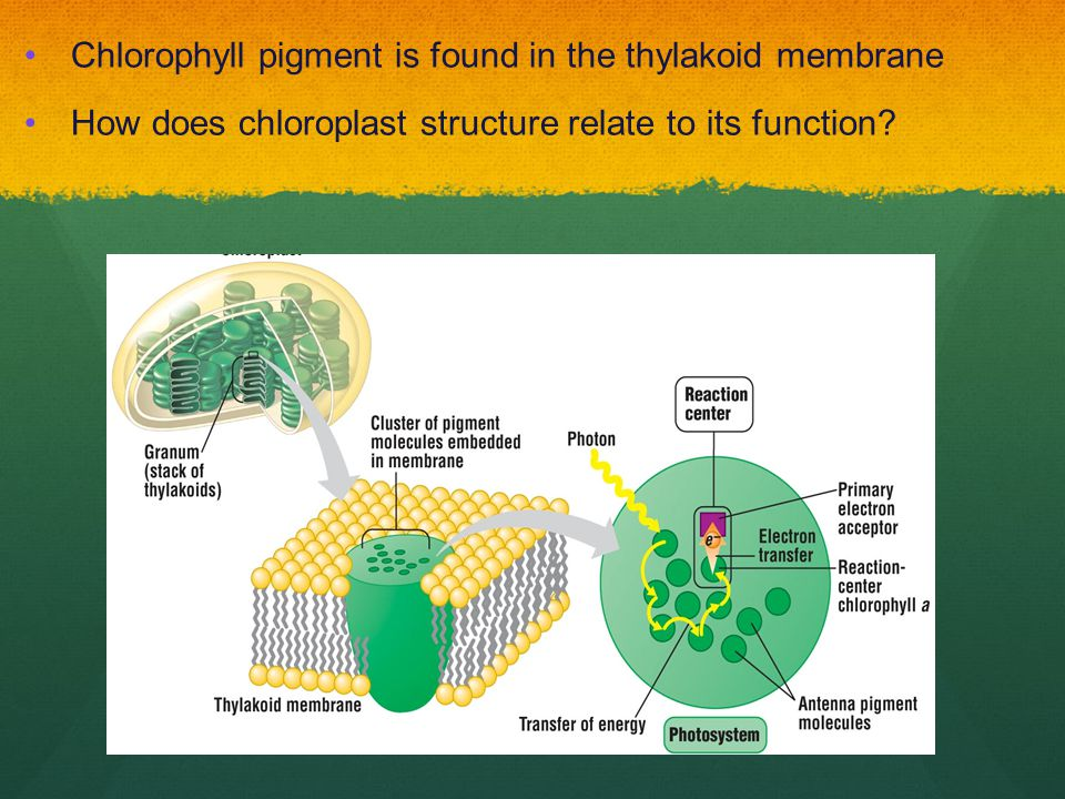 Chlorophyll pigment is found in the thylakoid membrane