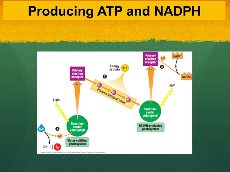Producing ATP and NADPH