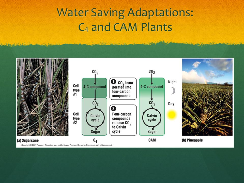 Water Saving Adaptations: C4 and CAM Plants