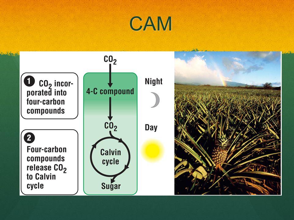 CAM Crassulacean acid metabolism – 4C compound