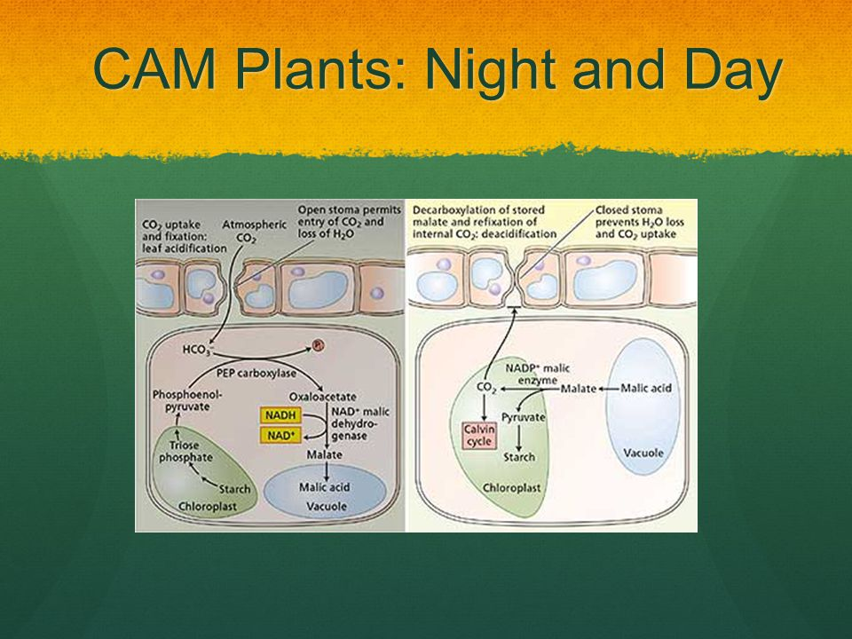 CAM Plants: Night and Day
