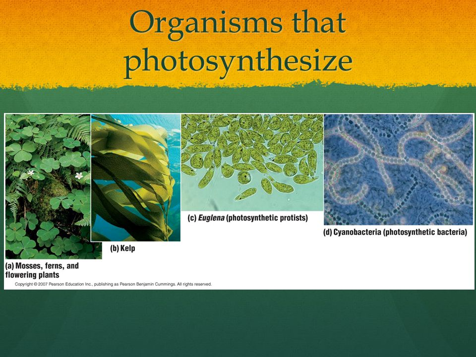 Organisms that photosynthesize
