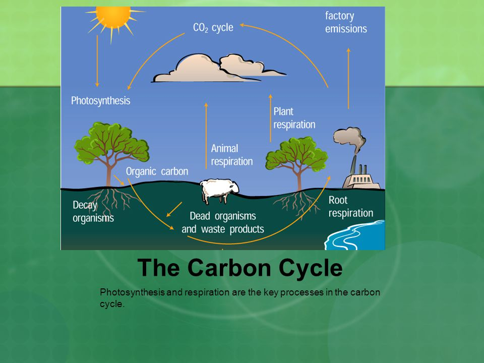 The Carbon Cycle Photosynthesis and respiration are the key processes in the carbon cycle.
