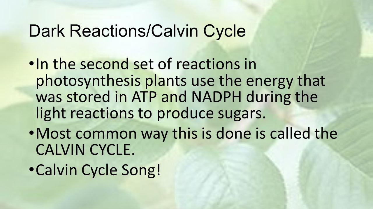 Dark Reactions/Calvin Cycle