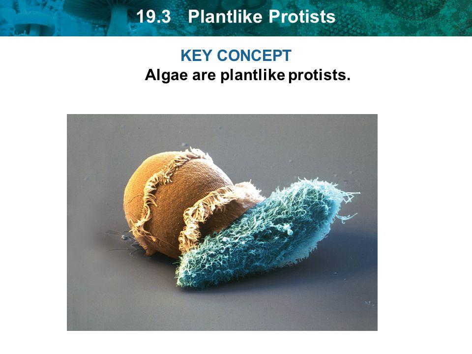 KEY CONCEPT Algae are plantlike protists.