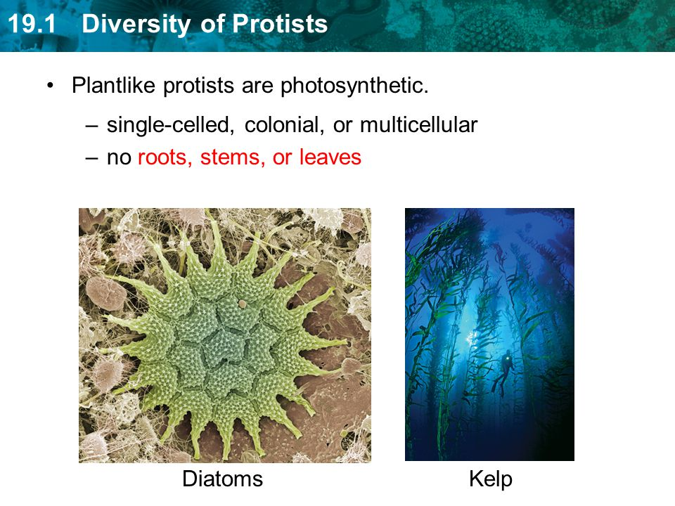 Plantlike protists are photosynthetic.