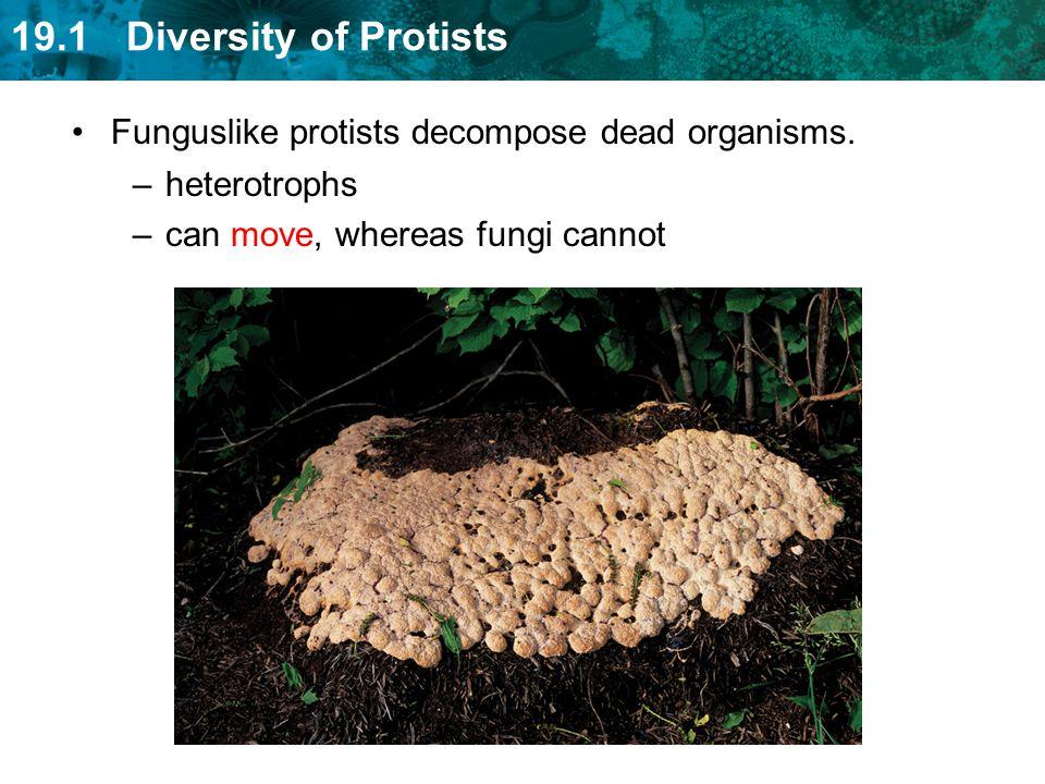 Funguslike protists decompose dead organisms.