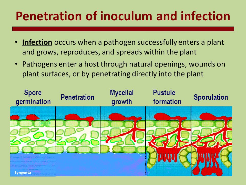 Penetration of inoculum and infection