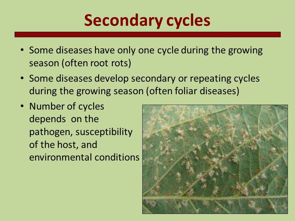 Secondary cycles Some diseases have only one cycle during the growing season (often root rots)