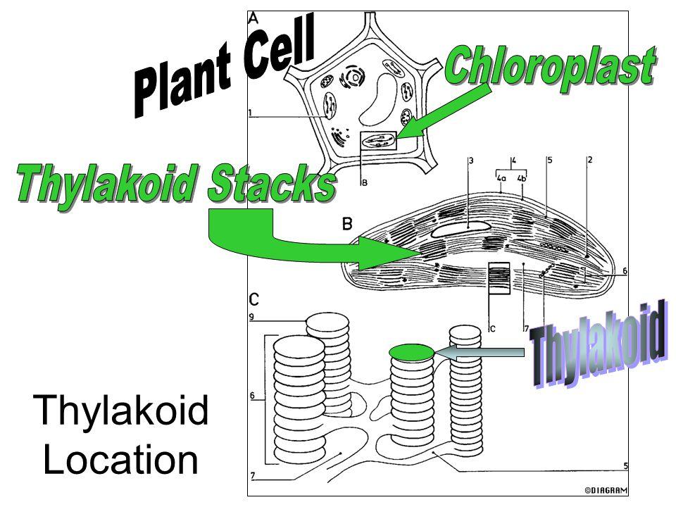 Plant Cell Chloroplast Thylakoid Stacks Thylakoid Thylakoid Location