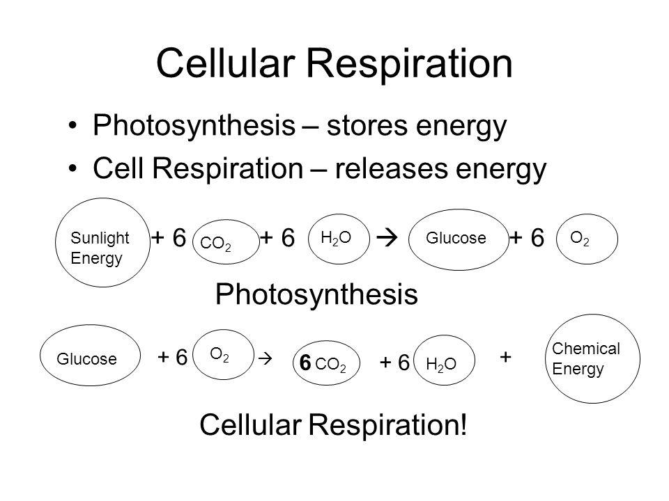 Cellular Respiration Photosynthesis – stores energy