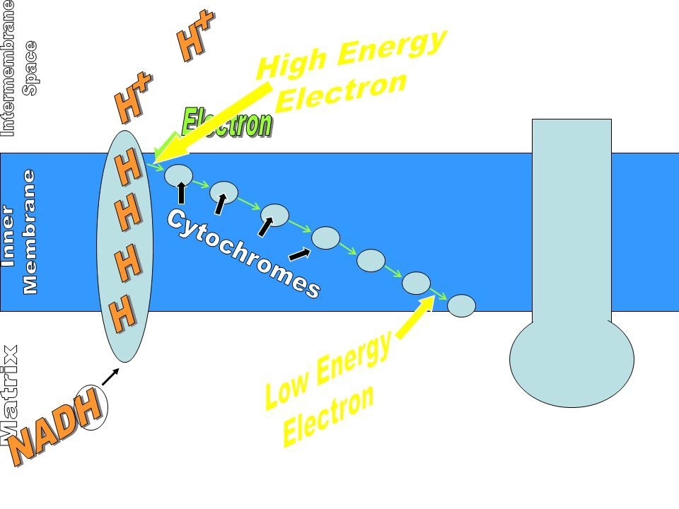 High Energy Electron. + H. Intermembrane. Space. + H. Electron. H. H. Membrane. Inner. Cytochromes.