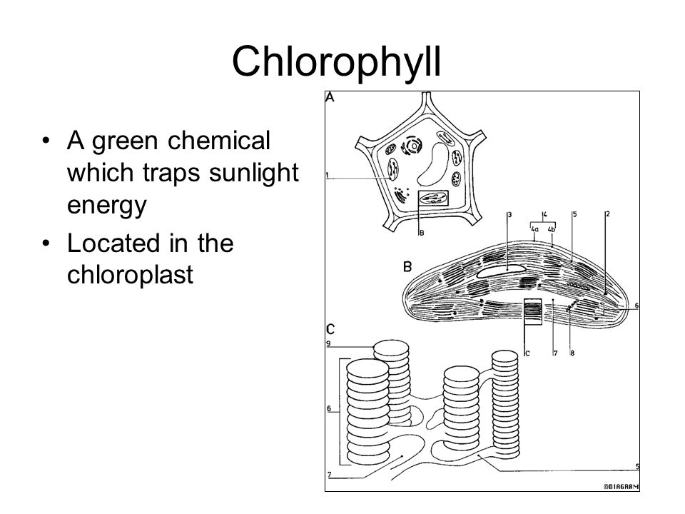 Chlorophyll A green chemical which traps sunlight energy