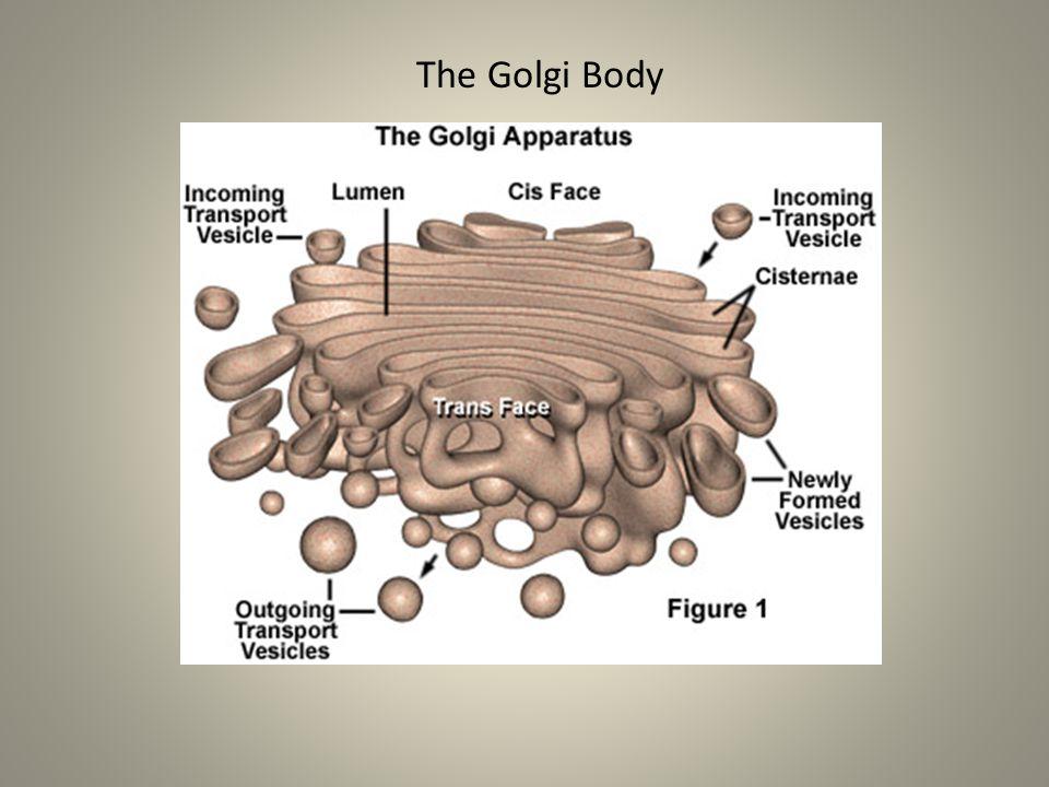 The Golgi Body