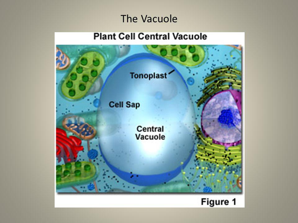 The Vacuole