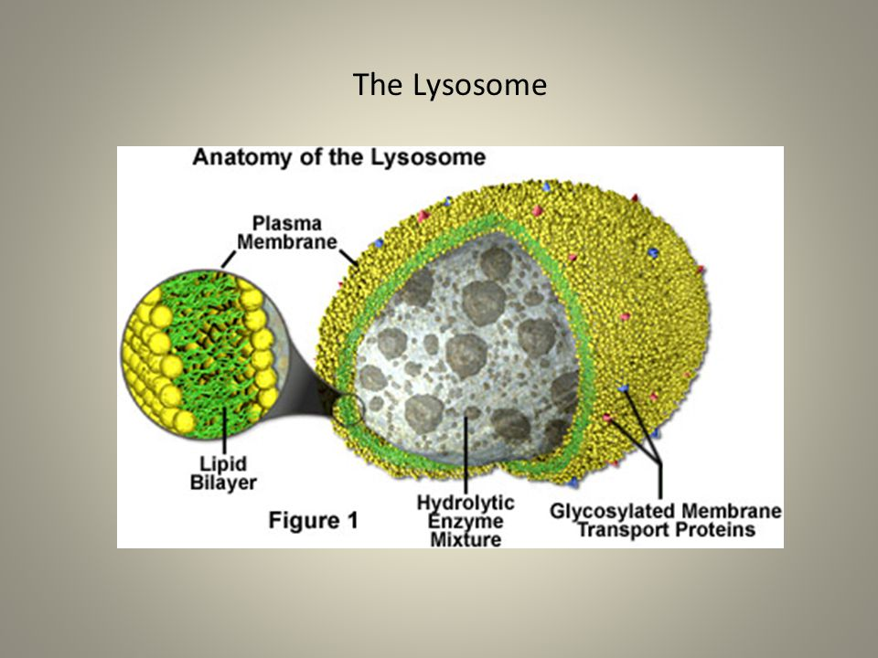 The Lysosome
