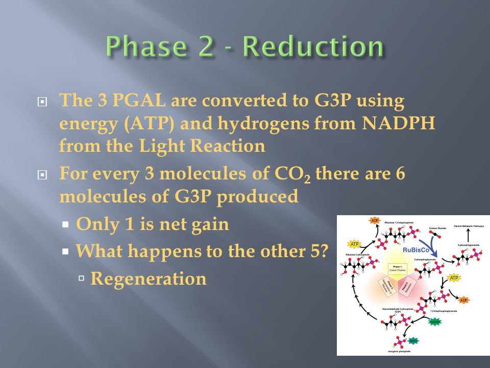 Phase 2 - Reduction The 3 PGAL are converted to G3P using energy (ATP) and hydrogens from NADPH from the Light Reaction.