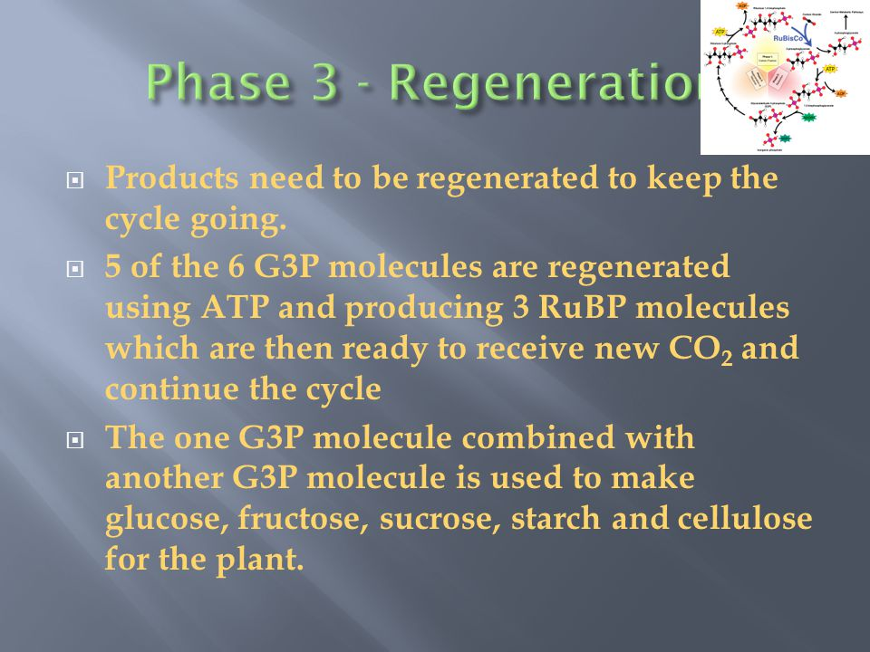 Phase 3 - Regeneration Products need to be regenerated to keep the cycle going.