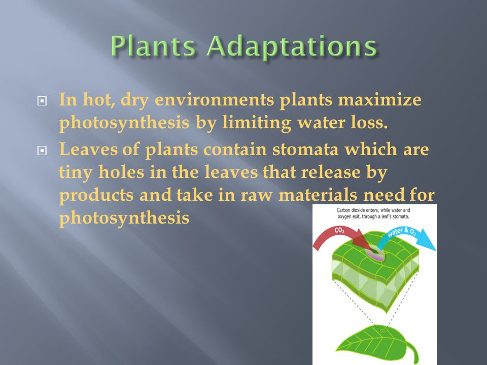 Plants Adaptations In hot, dry environments plants maximize photosynthesis by limiting water loss.