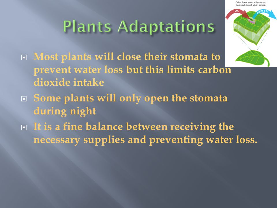 Plants Adaptations Most plants will close their stomata to prevent water loss but this limits carbon dioxide intake.