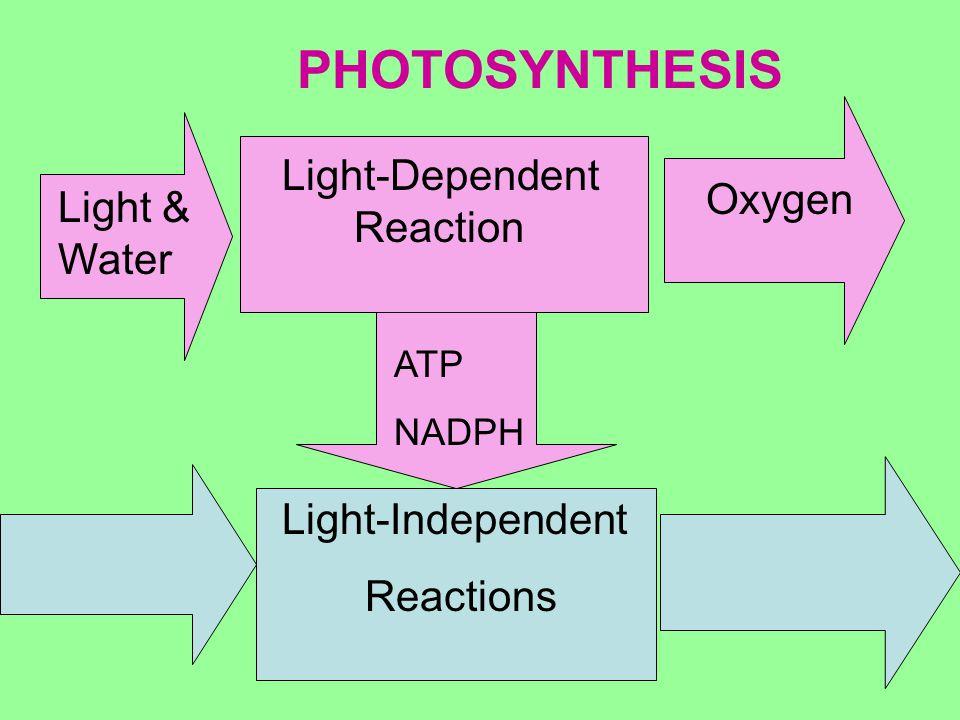 PHOTOSYNTHESIS Light-Dependent Reaction Oxygen Light & Water