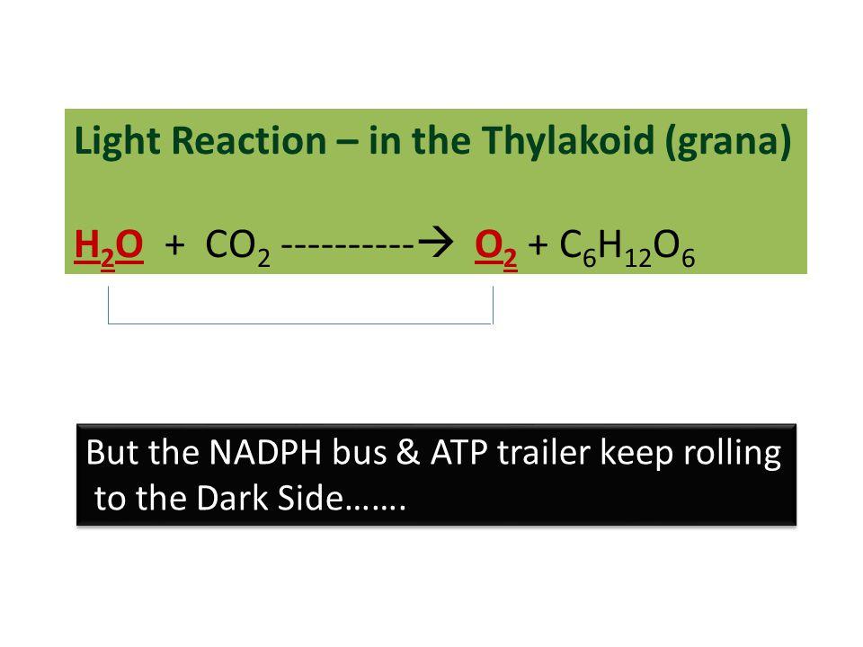Light Reaction – in the Thylakoid (grana)