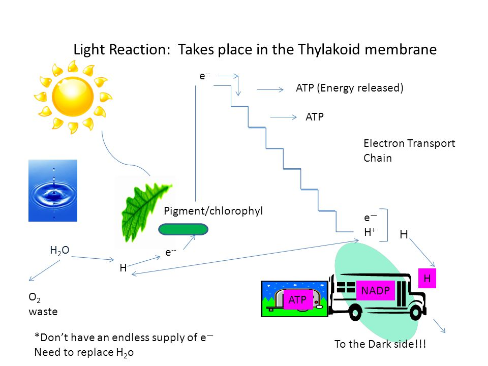 Light Reaction: Takes place in the Thylakoid membrane