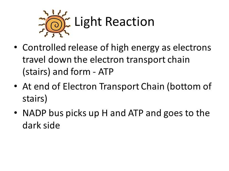 Light Reaction Controlled release of high energy as electrons travel down the electron transport chain (stairs) and form - ATP.