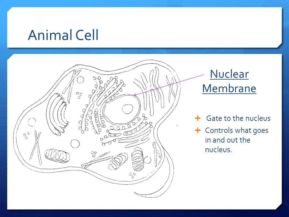 Animal Cell Nuclear Membrane Gate to the nucleus