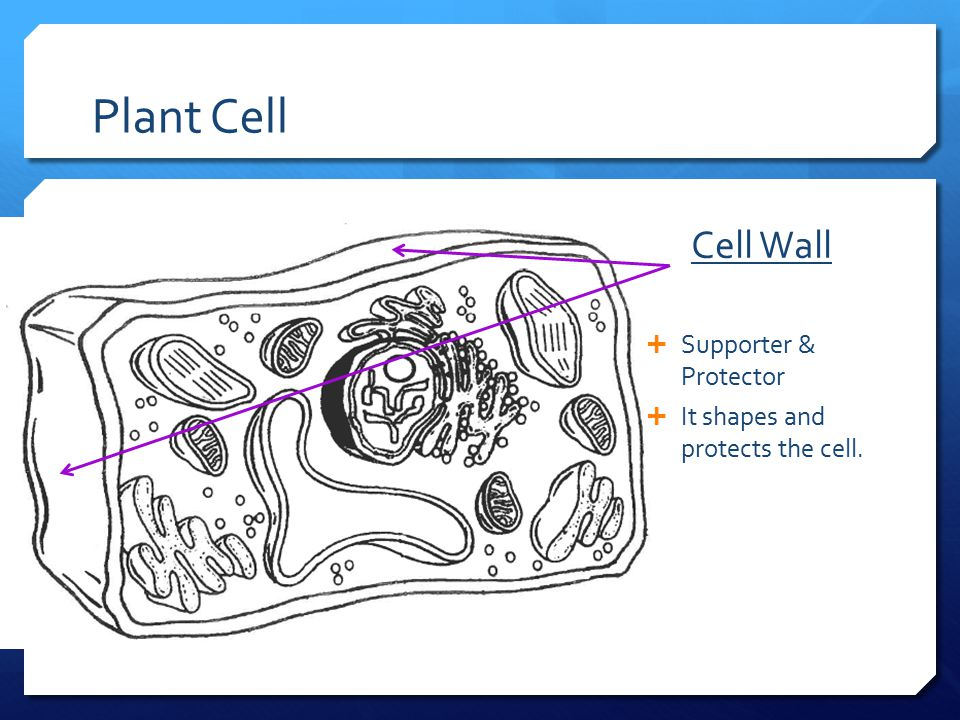 Plant Cell Cell Wall Supporter & Protector