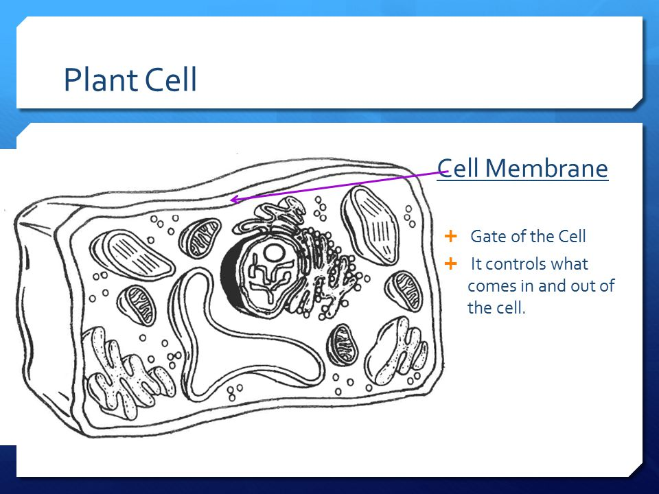 Plant Cell Cell Membrane Gate of the Cell