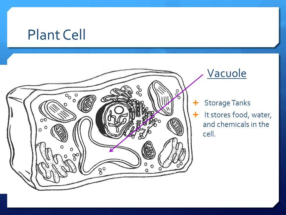 Plant Cell Vacuole Storage Tanks