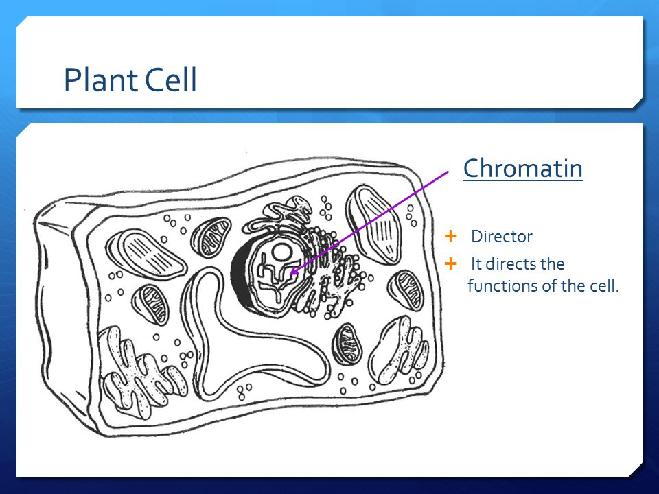Plant Cell Chromatin Director It directs the functions of the cell.