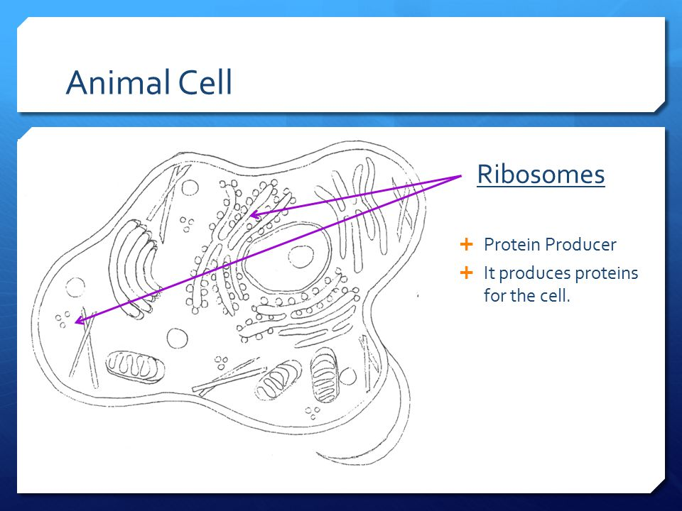 Animal Cell Ribosomes Protein Producer