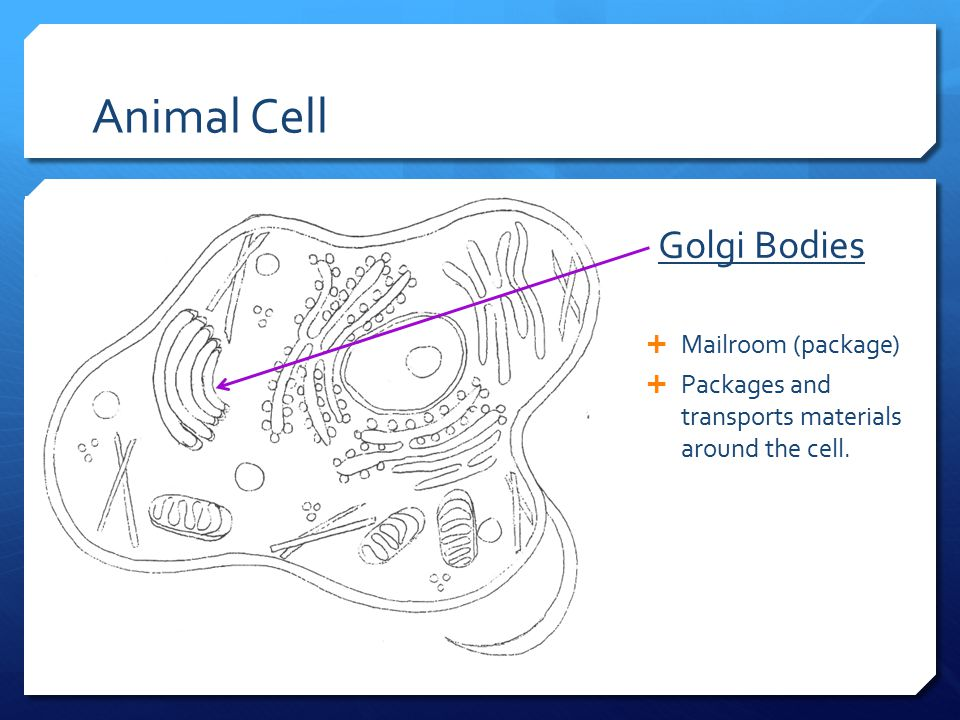 Animal Cell Golgi Bodies Mailroom (package)