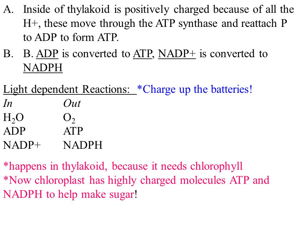 B. ADP is converted to ATP, NADP+ is converted to NADPH