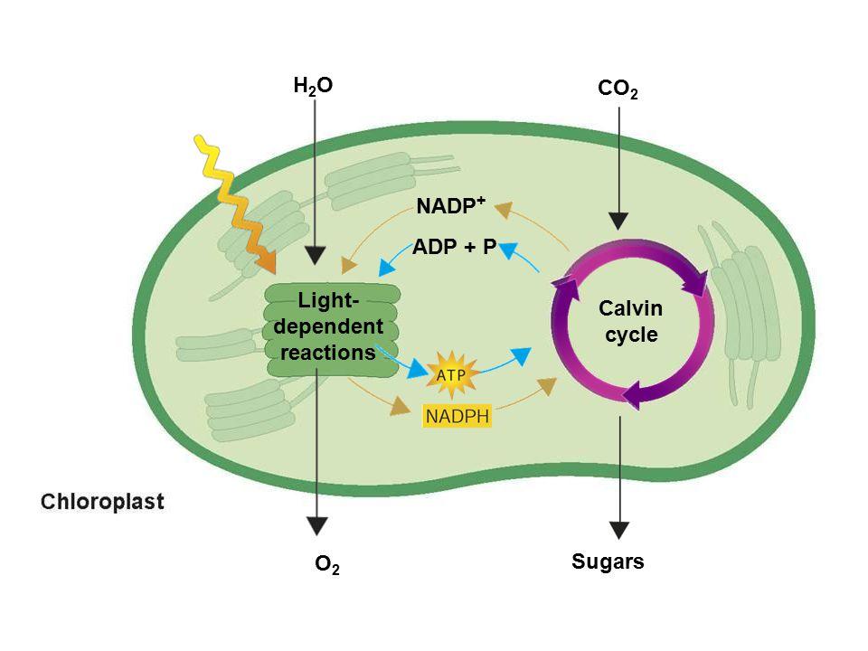 Light- dependent reactions