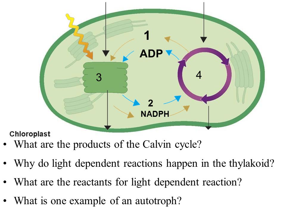 1 2 4 3 NADPH What are the products of the Calvin cycle