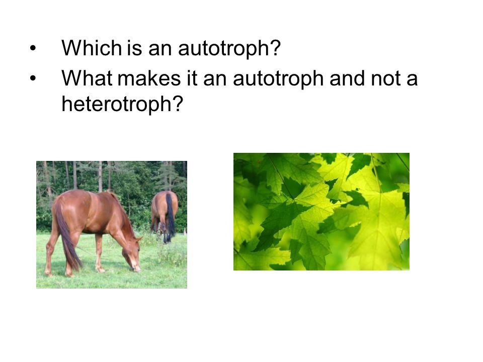 What makes it an autotroph and not a heterotroph